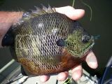 Glamor Shot Dark Bluegill